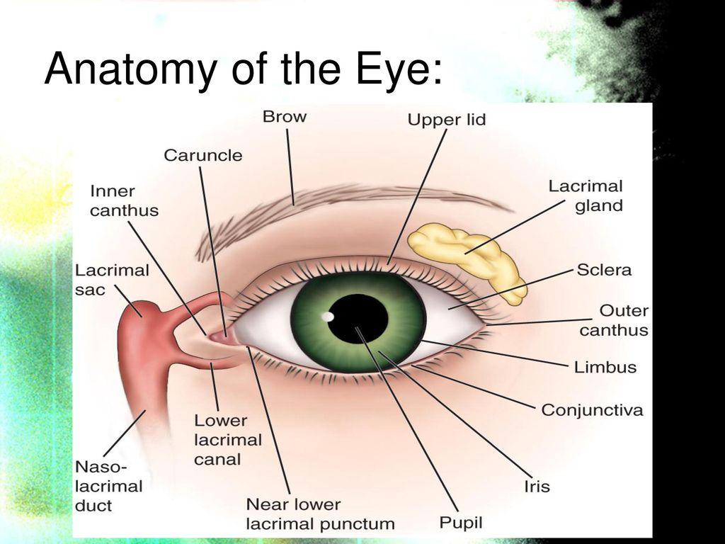 Amazing Limbus Eye Anatomy Gallery - Physiology Of Human Body Images ...
