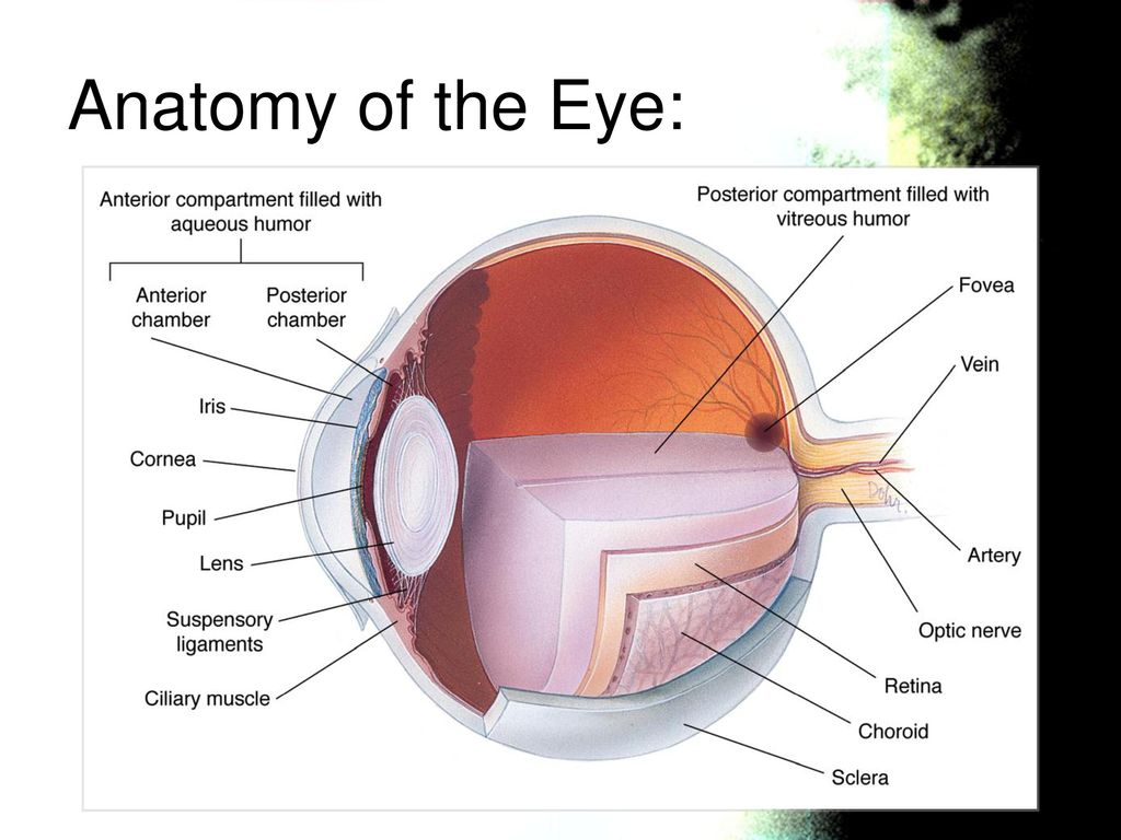 Fancy Anterior Chamber Anatomy Images - Physiology Of Human Body ...