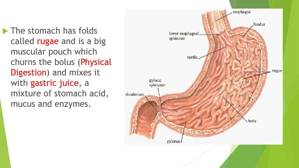 Ausgezeichnet Prinzipien Der Menschlichen Anatomie 12. Ausgabe ...