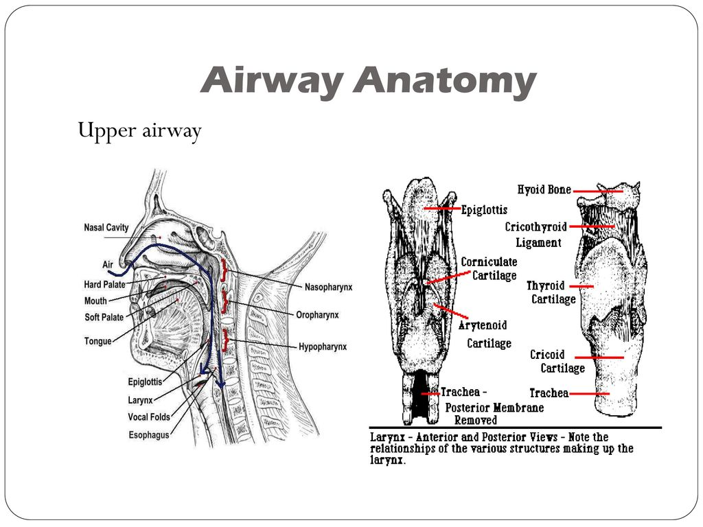 Upper Airway Anatomy Diagram Image collections - human body anatomy