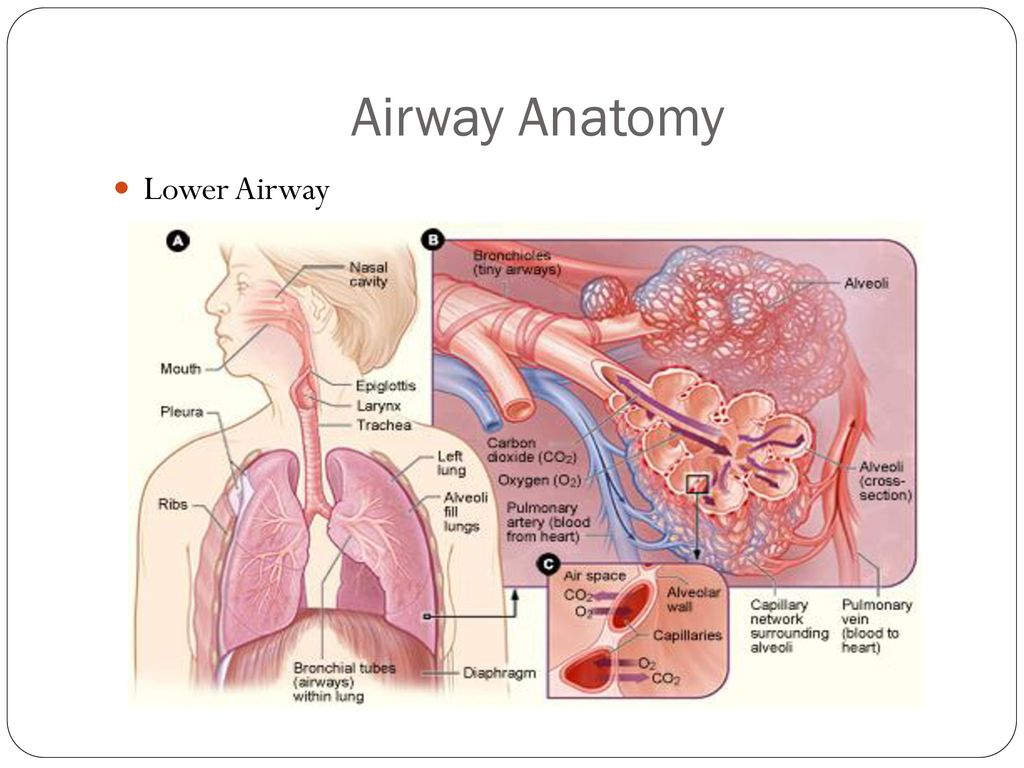 Anatomy Of Airway For Intubation Choice Image Human Body Anatomy