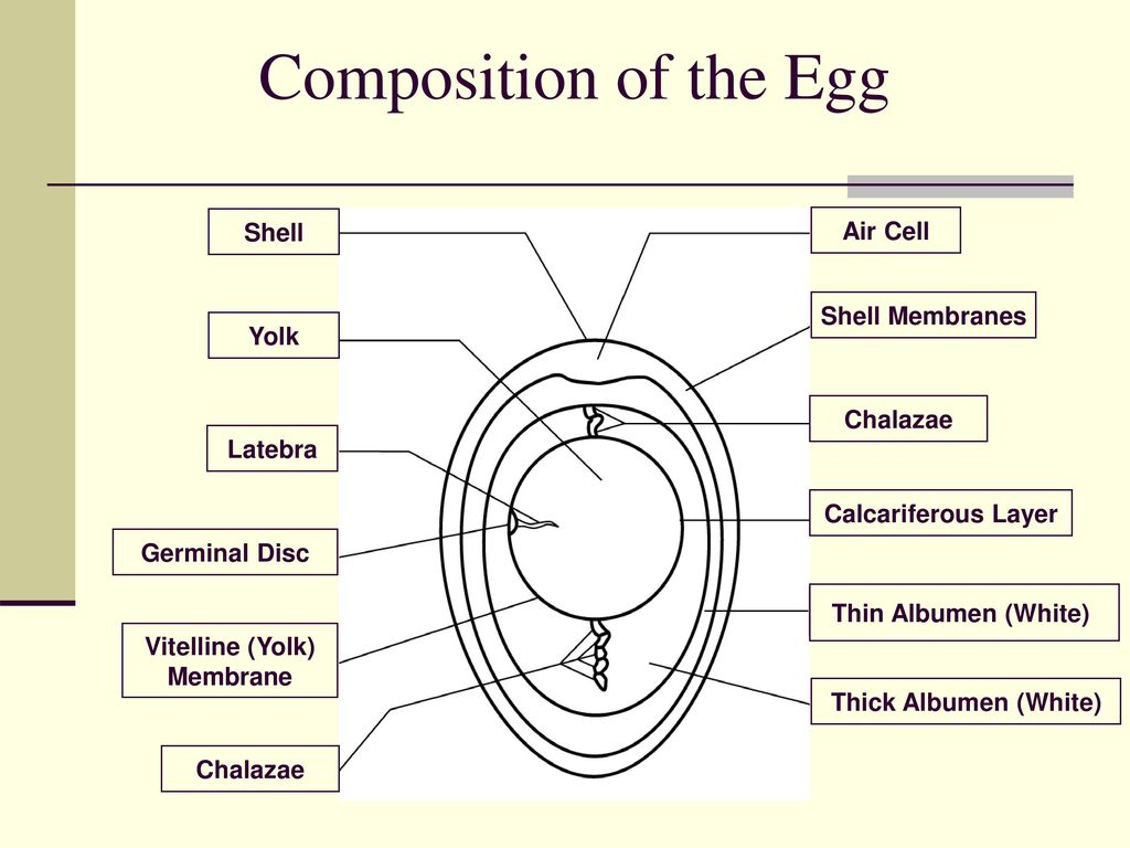 Presented by kentucky egg council us poultry egg association composition of the egg shell air cell shell membranes yolk chalazae pooptronica