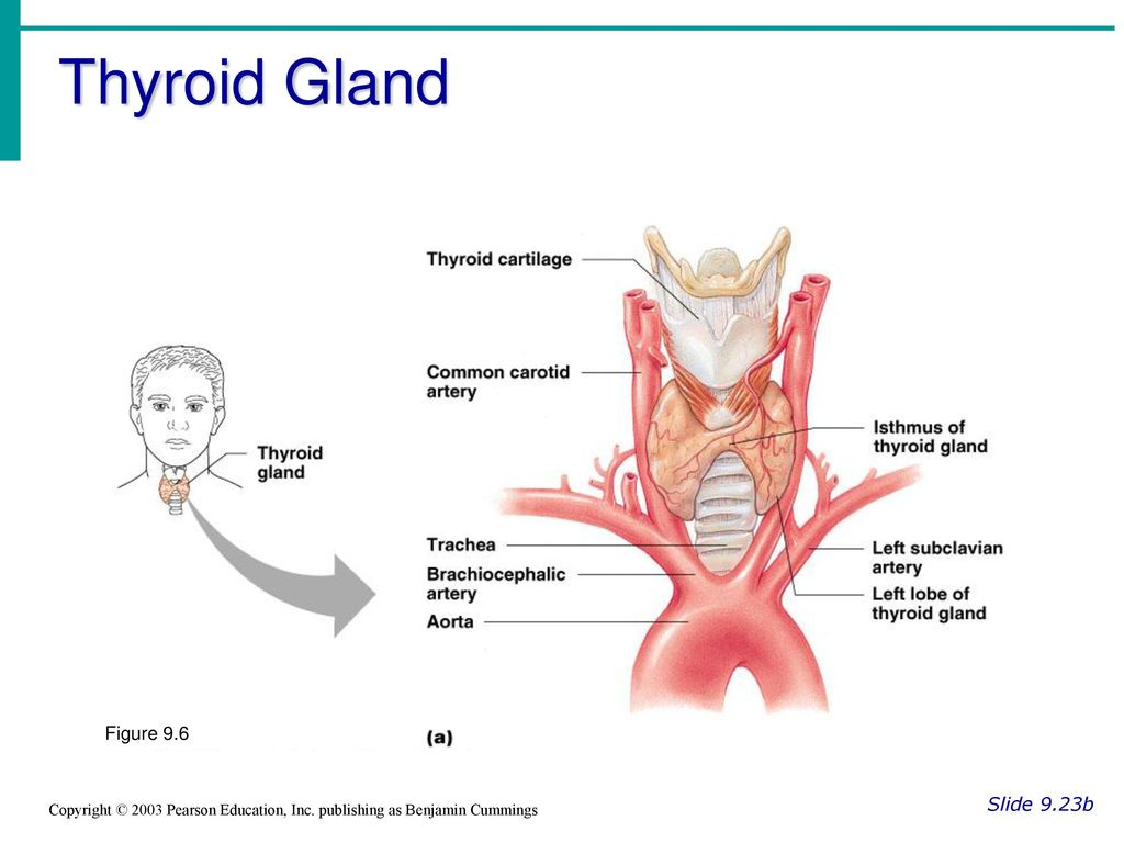 Thyroid gland found at the base of the throat produces two 2 thyroid pooptronica