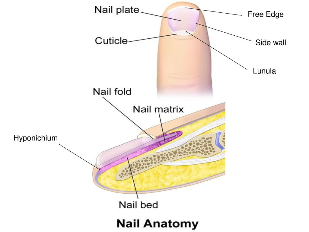 Nail care ppt download 5 free edge side wall lunula hyponichium pooptronica Gallery