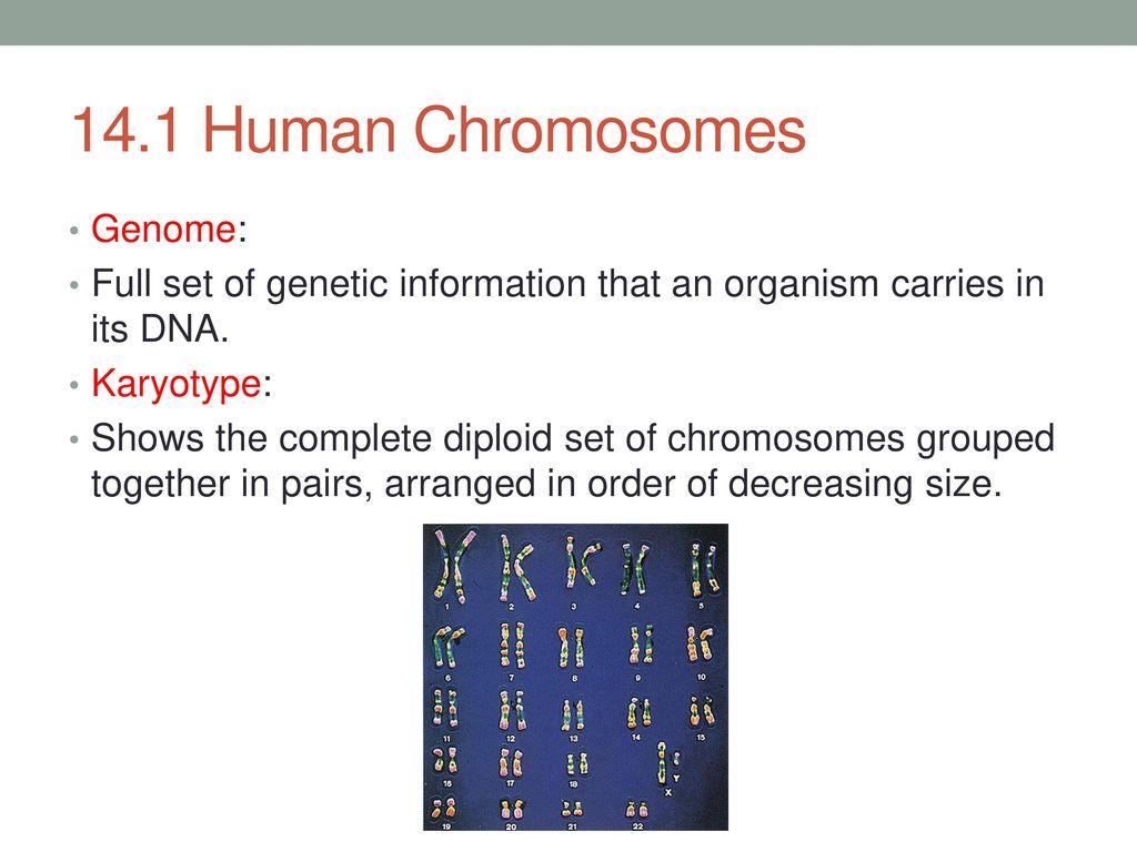 worksheet Section 14 2 Human Chromosomes Worksheet Answers chapter 14 human heredity ppt download 2 1