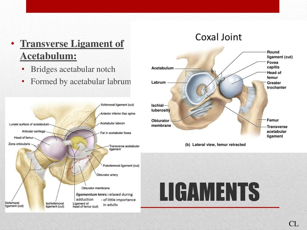 Anatomy Of The Hip Presented By Cassie Litzinger Julia Meyer