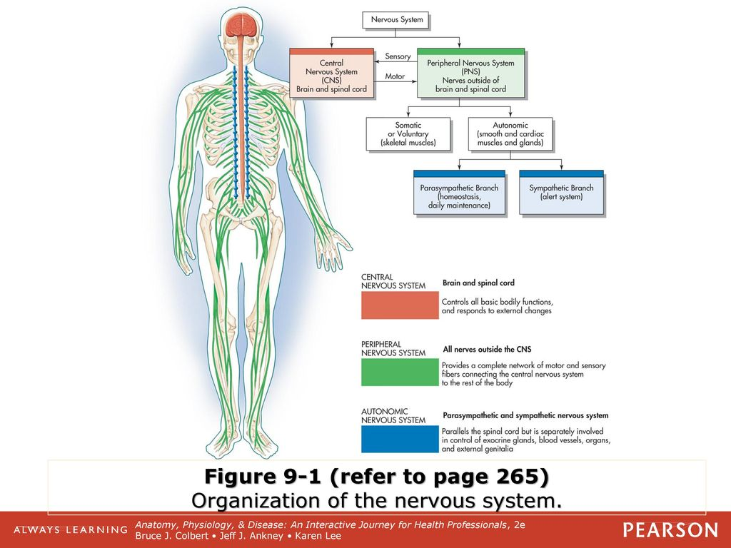 Atemberaubend Anatomy And Physiology Of Central Nervous System ...