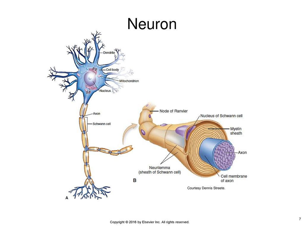 Copyright 2016 by elsevier inc all rights reserved ppt download 7 neuron figure 9 2 a is a diagram o f a pooptronica Gallery