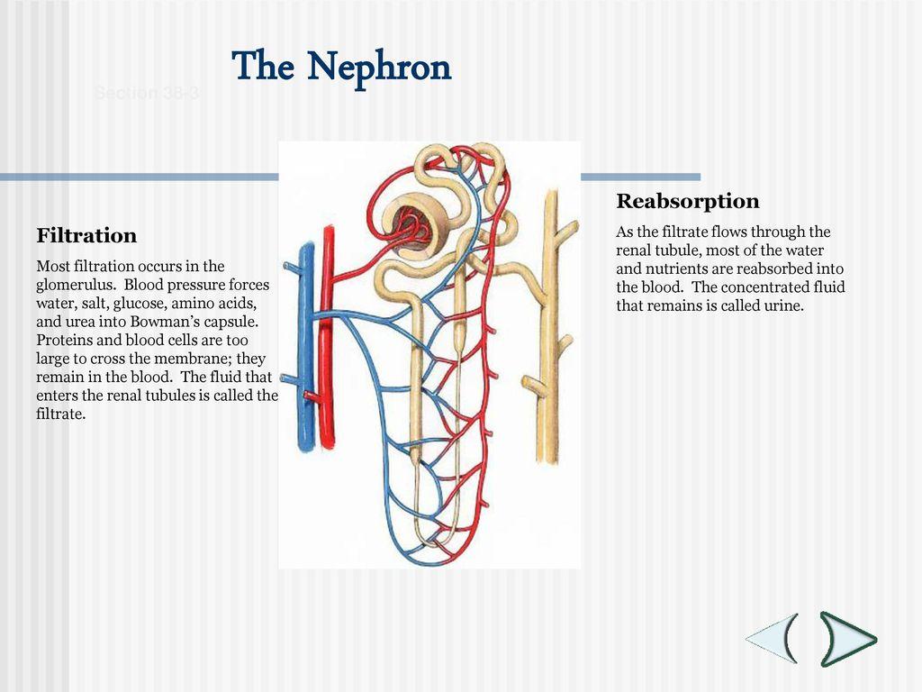Filtration Definition Anatomy Choice Image - human body anatomy