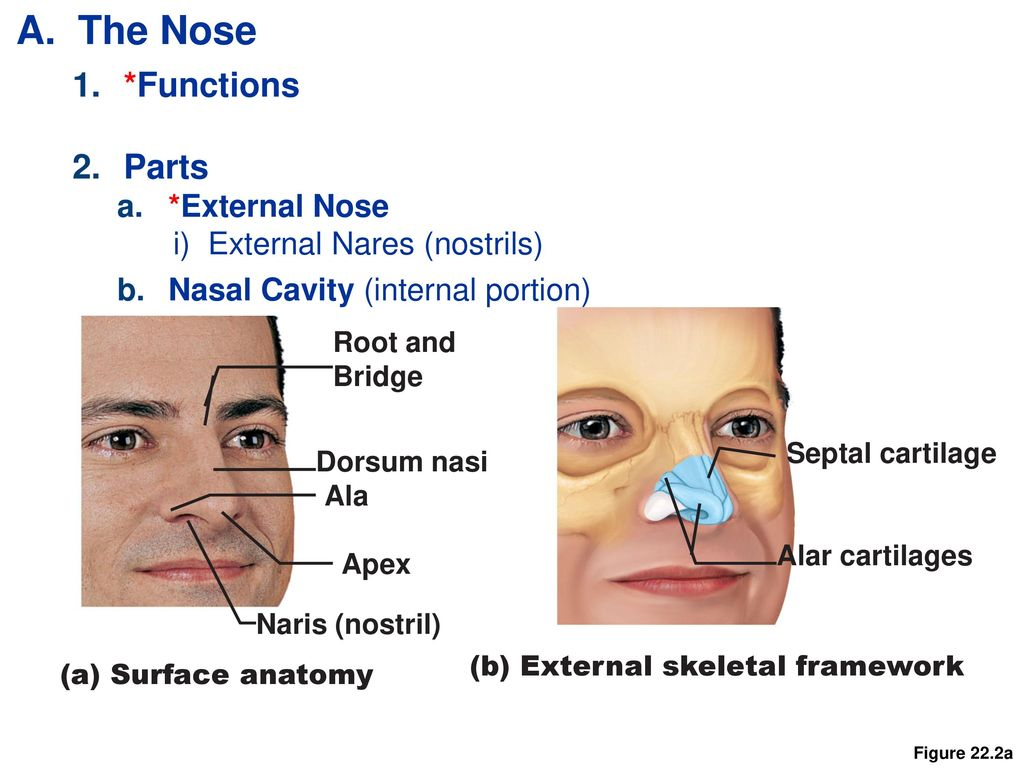 Outstanding External Nasal Anatomy Adornment - Human Anatomy Images ...