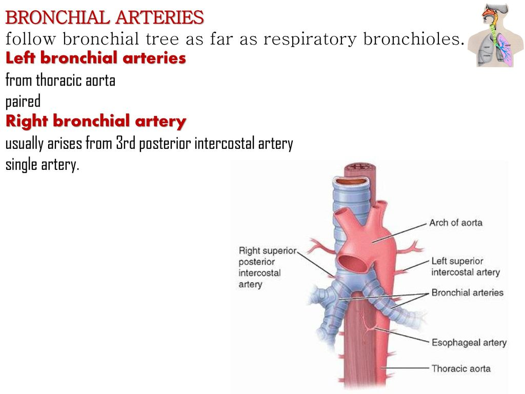 anatomy of the respiratory system kaan y252cel md phd