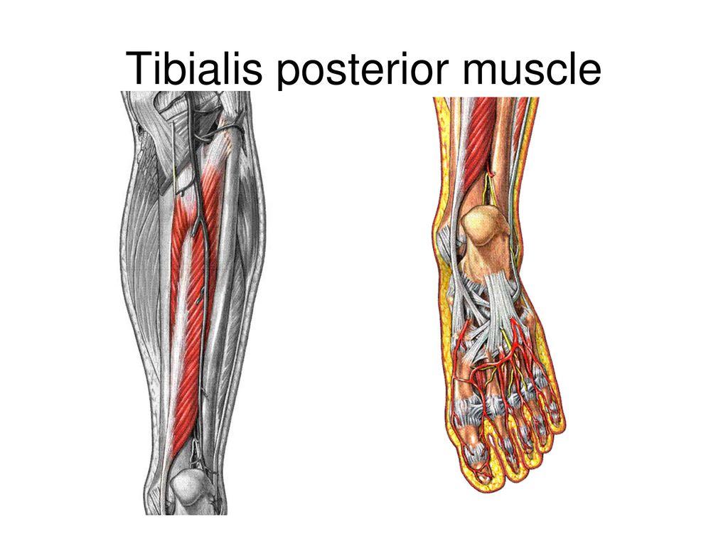Ausgezeichnet Tibialis Posterior Anatomie Zeitgenössisch - Anatomie ...