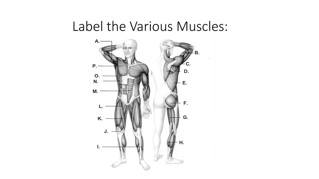 Muscular System Ppt Download