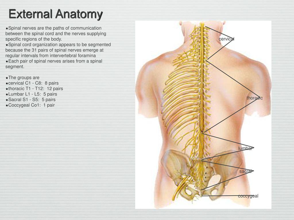 Wunderbar Proximale Achillessehne Anatomie Bilder - Anatomie Von ...