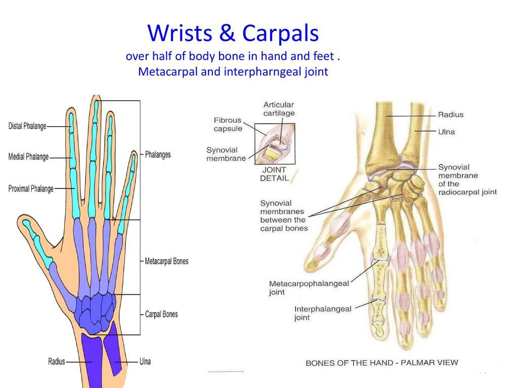 Atemberaubend Toe Anatomy Joints Galerie - Anatomie Ideen - finotti.info