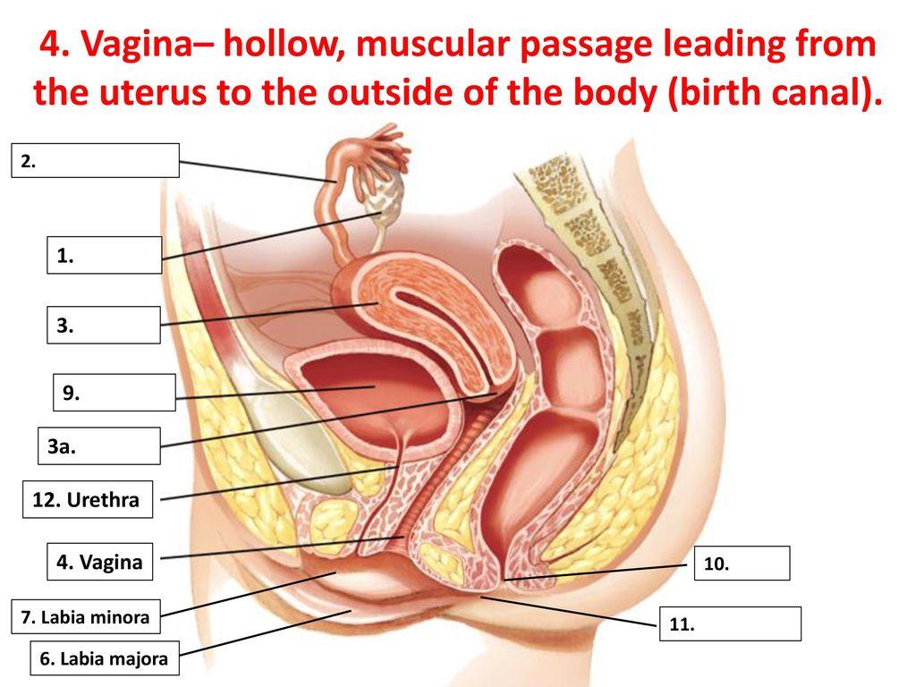 Ungewöhnlich Anatomy Of Birth Canal Zeitgenössisch - Menschliche ...