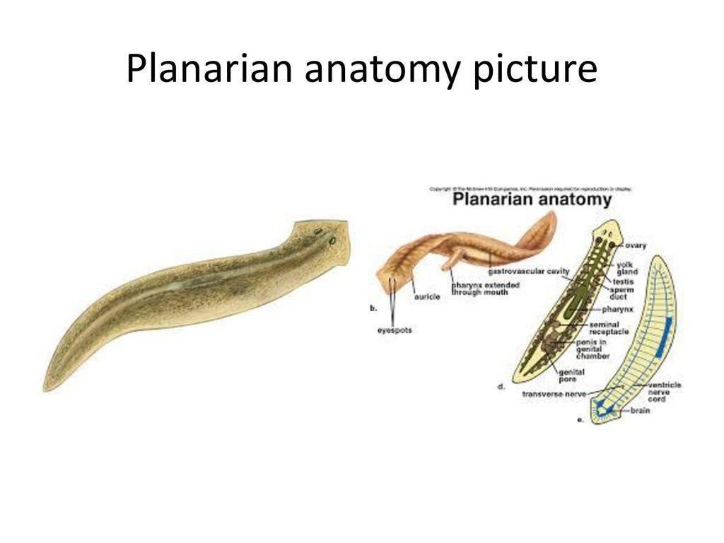 Amazing Anatomy Of Planaria Inspiration - Physiology Of Human Body ...
