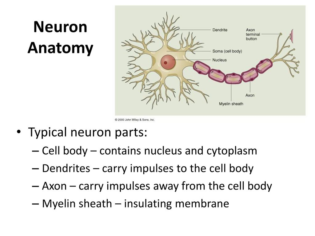 Outstanding Neuron Anatomy Picture Collection - Physiology Of Human ...