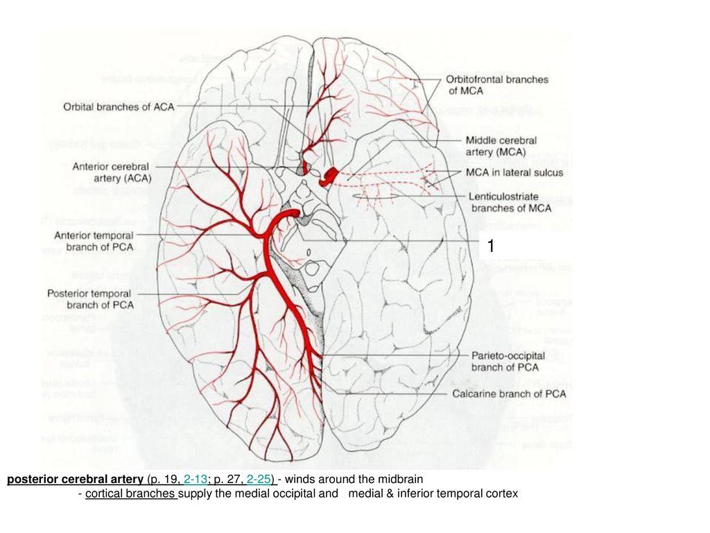 Großartig Posterioren Zirkulation Anatomie Fotos - Anatomie Ideen ...