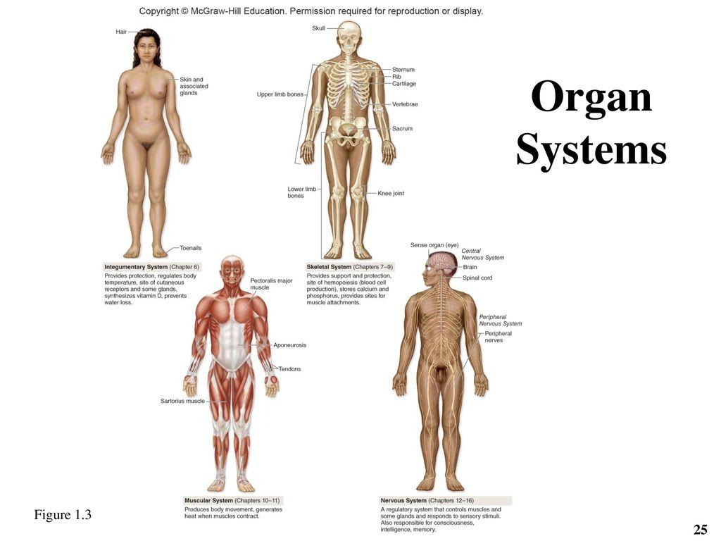 Fancy Human Anatomy Michael Mckinley Ensign - Human Anatomy Images ...