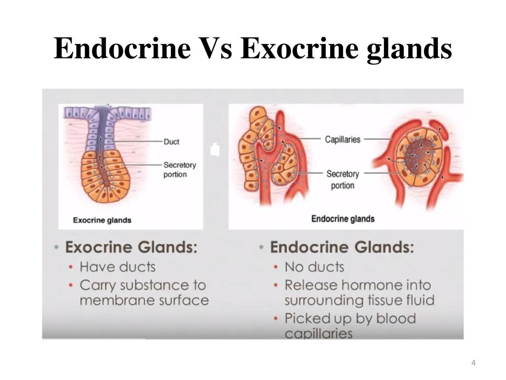 Enchanting Exocrine Vs Endocrine Glands Images - Physiology Of Human ...
