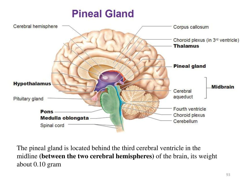 Unique Pineal Body Photo - Human Anatomy Images - fullthreadahead.com