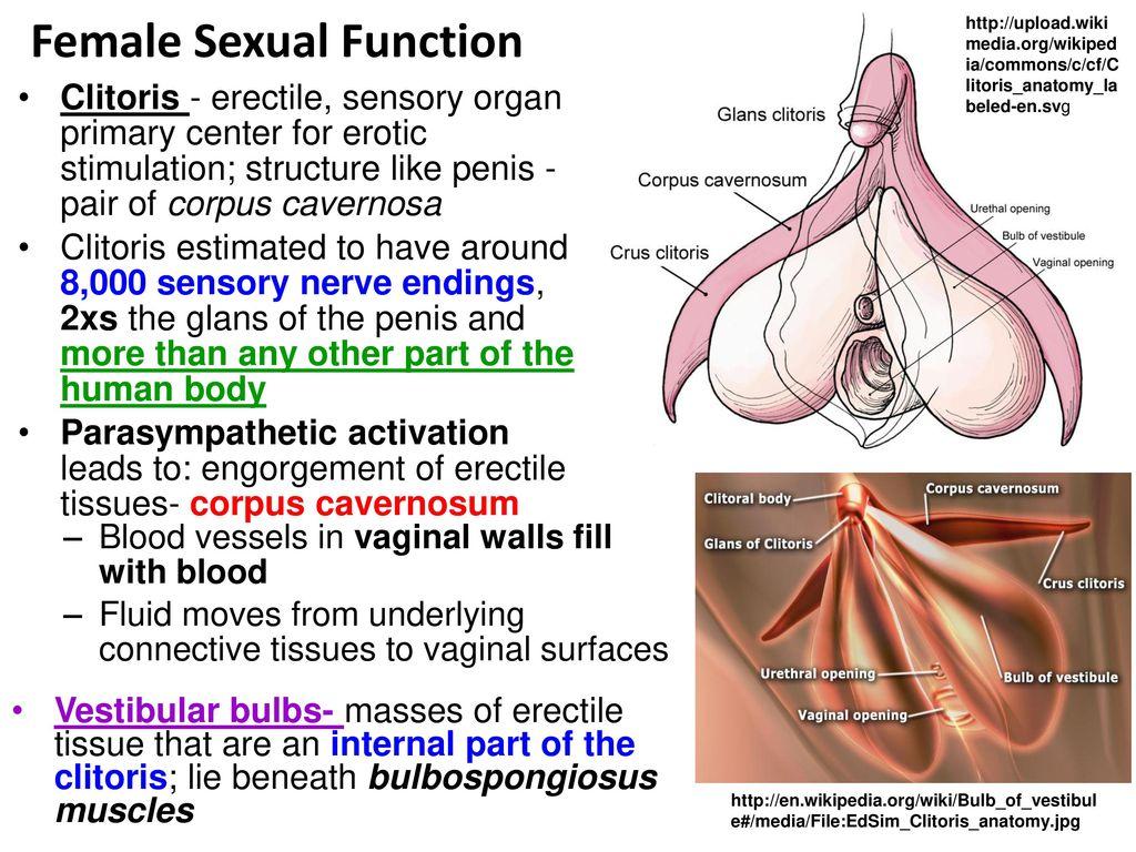 Funky Wikipedia Female Anatomy Frieze - Physiology Of Human Body ...