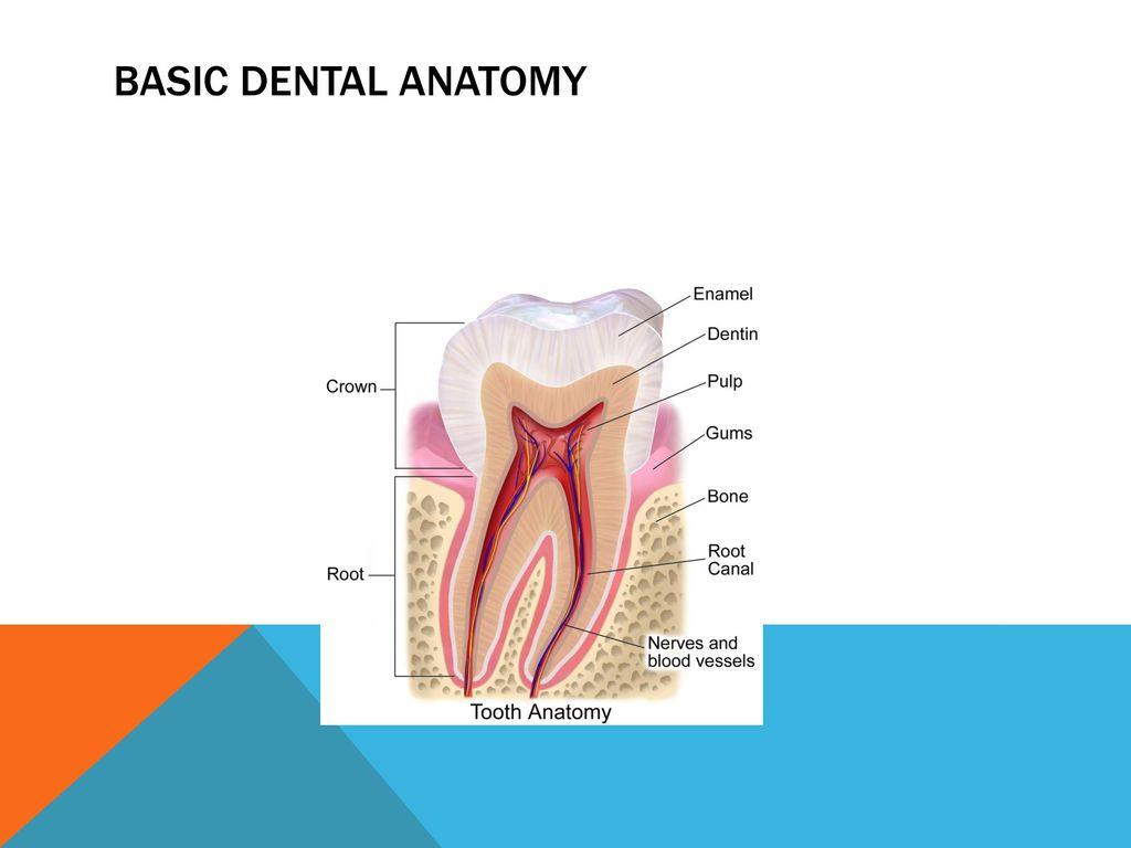 Nett Basic Dental Anatomy Zeitgenössisch - Menschliche Anatomie ...