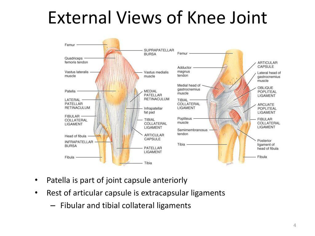 Knee Capsule Anatomy Images - human body anatomy