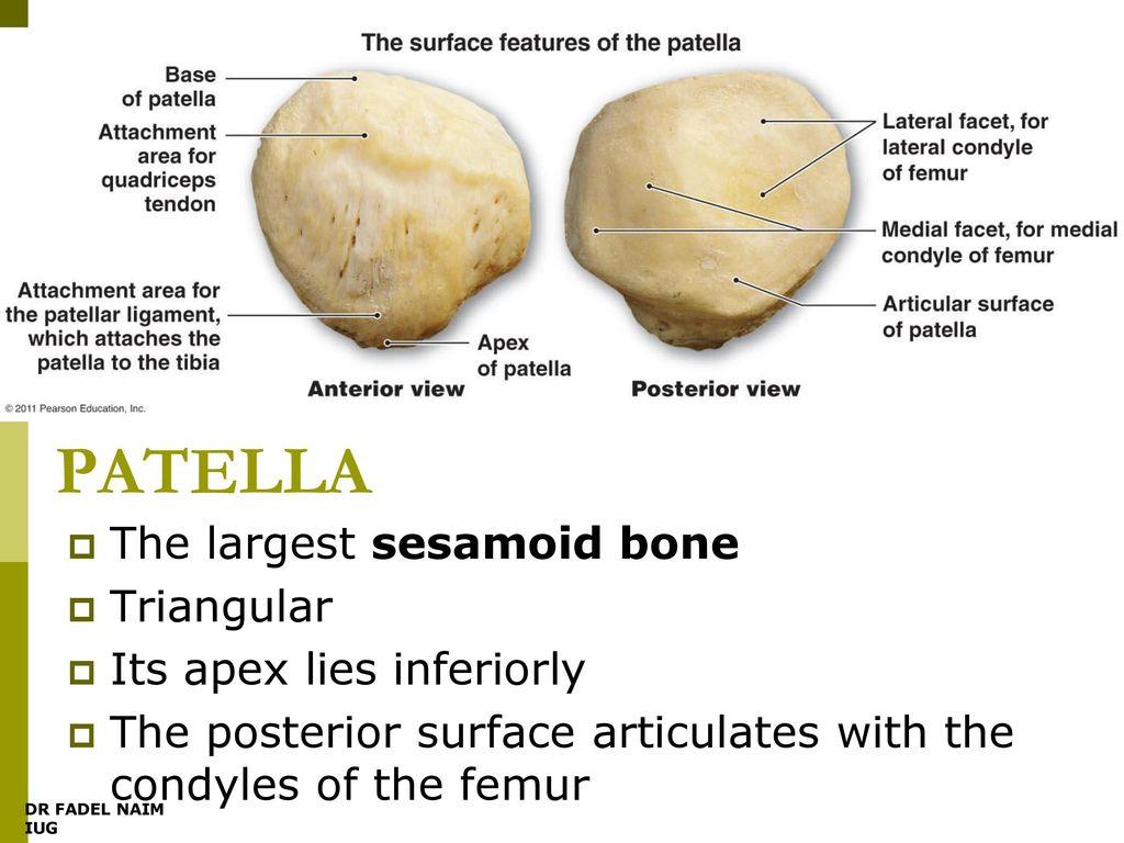 Modern Patella Bone Gift Anatomy Ideas Yunokifo