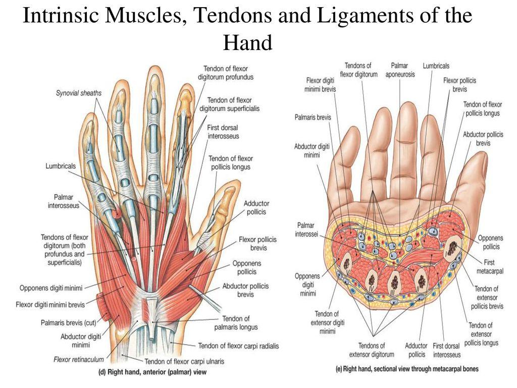 Exelent Flexor Tendon Hand Anatomy Image - Anatomy Ideas - yunoki.info