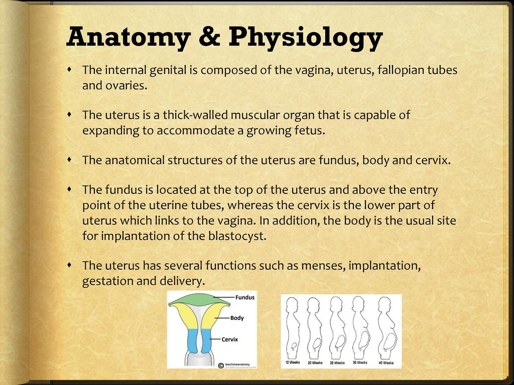 Beste Anatomy And Physiology Of The Uterus Bilder - Physiologie Von ...