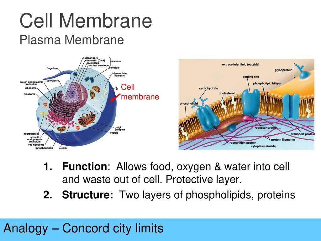 cell membrane analogy