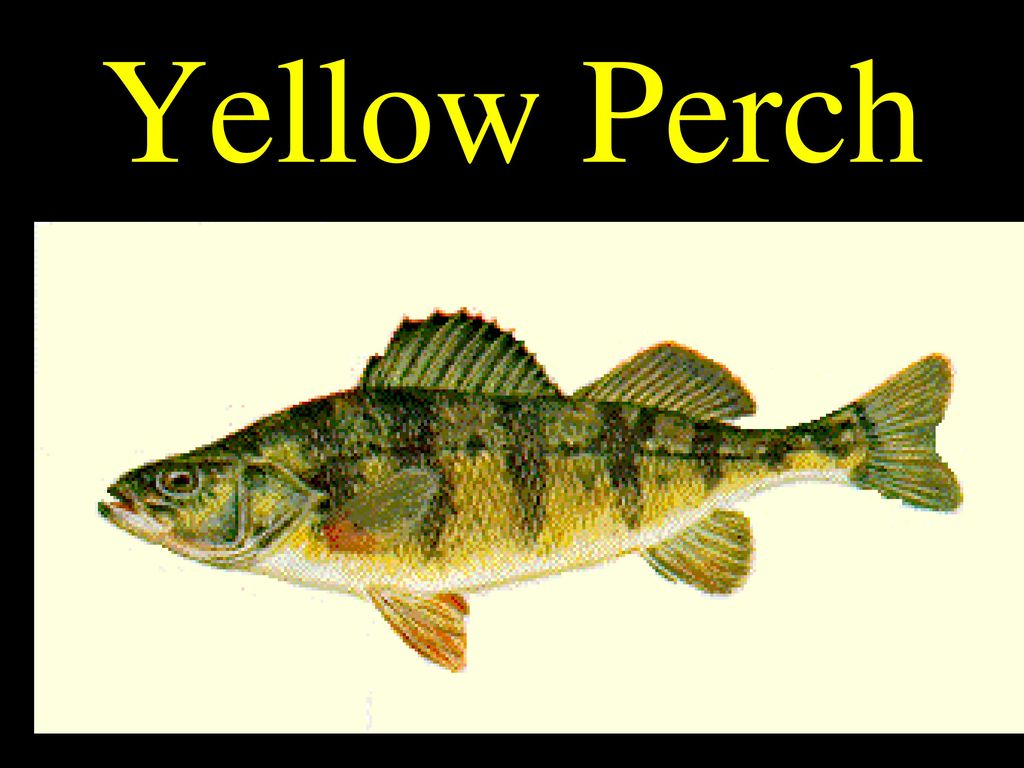Luxury yellow perch anatomy mold human anatomy images modern yellow perch anatomy ensign physiology of human body images ccuart Gallery