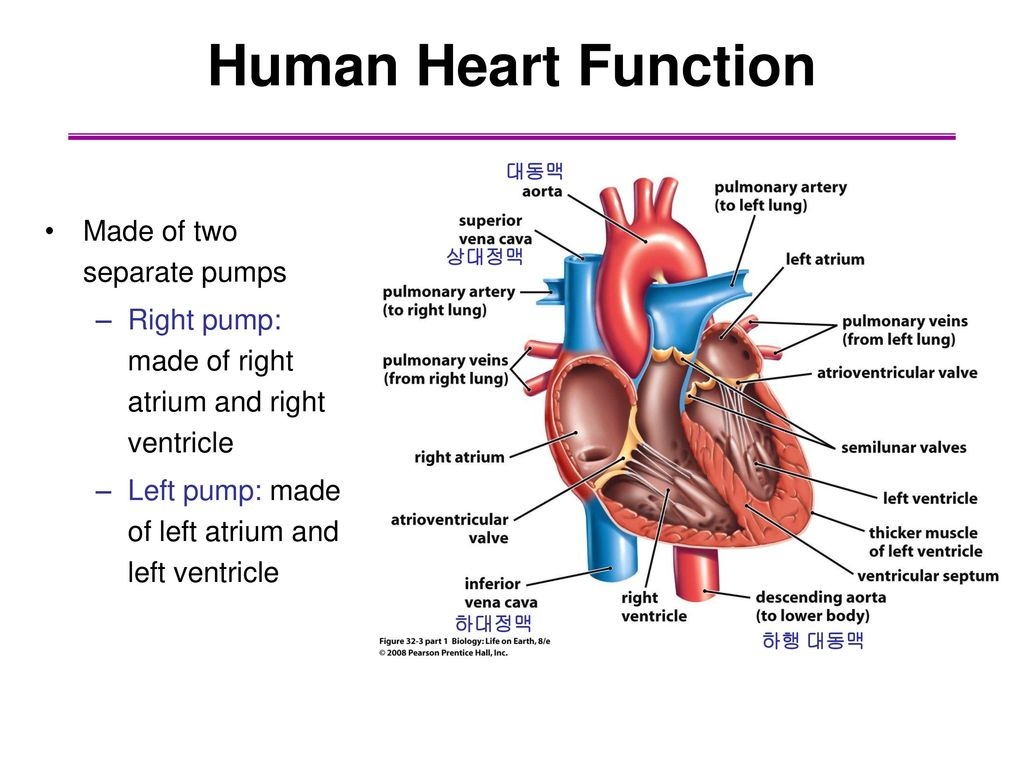 Fancy Heart Function Images - Physiology Of Human Body Images ...