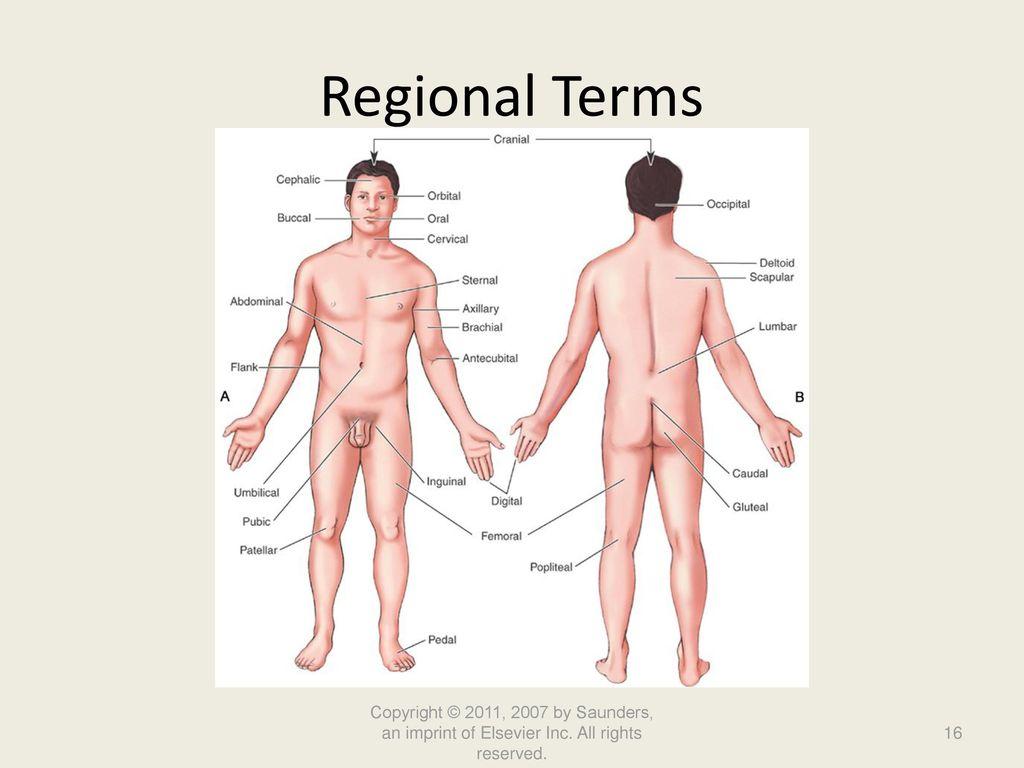 Gemütlich Anatomy And Physiology Body Regions Worksheet Answers ...