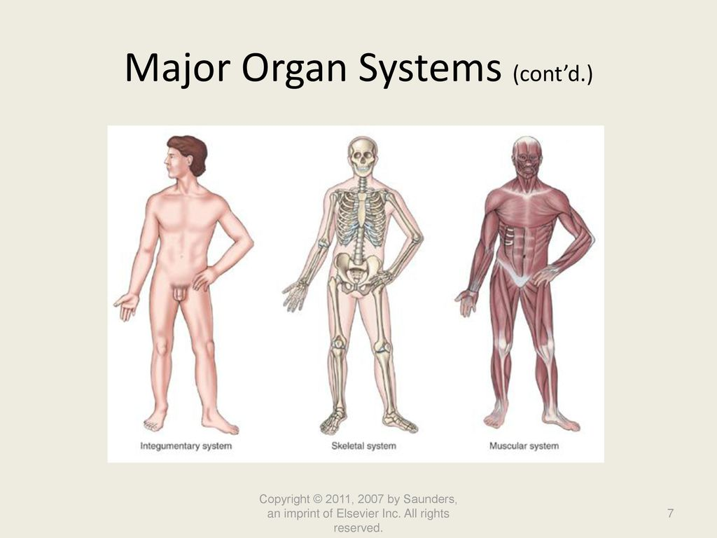The Major Body Structures And Organ Systems Form During Honghankk