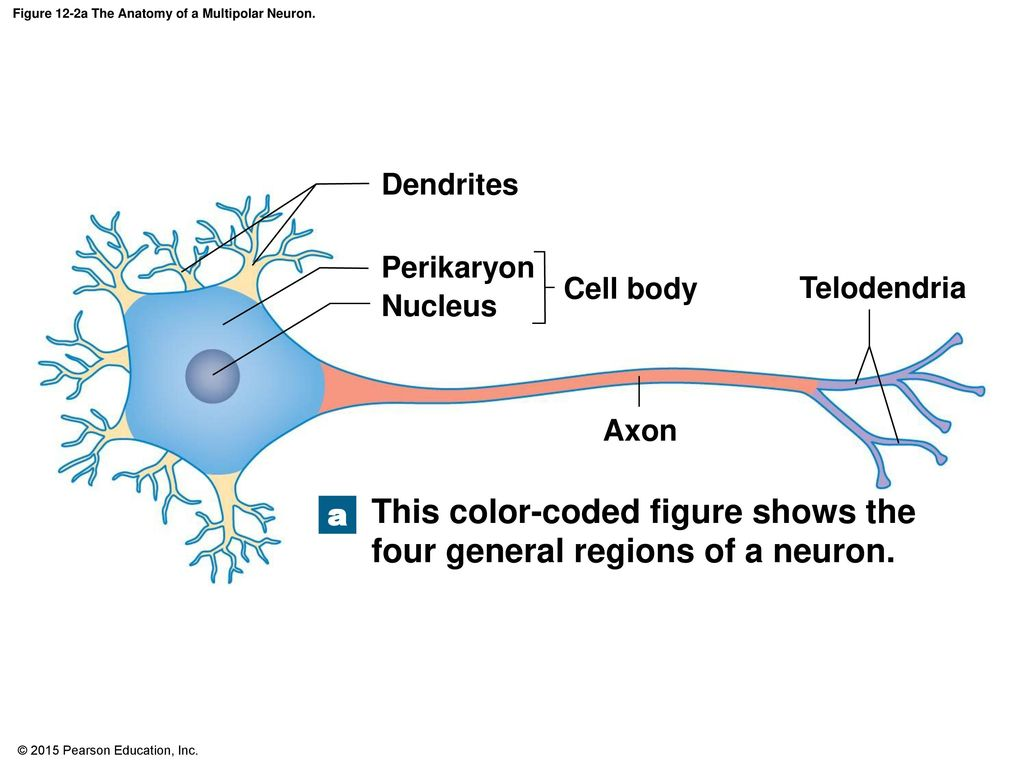 2015 pearson education inc ppt download figure 12 2a the anatomy of a multipolar neuron ccuart Choice Image
