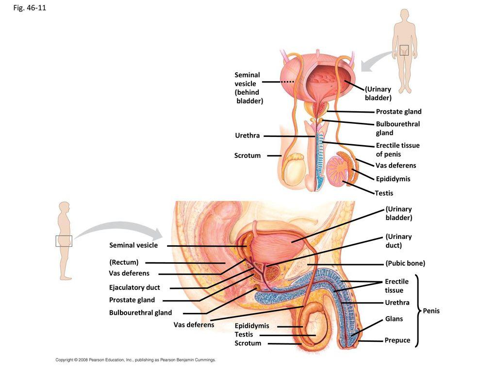 Ziemlich Aortengabelung Anatomie Fotos - Anatomie Von Menschlichen ...