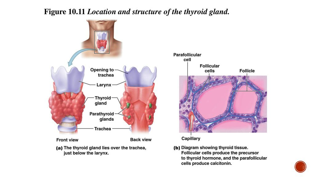 Thyroid Anatomy Ppt Image collections - human body anatomy