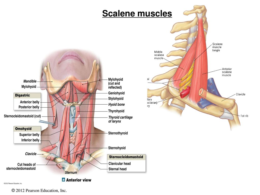 Anterior Scalene Muscle Image collections - human anatomy organs diagram