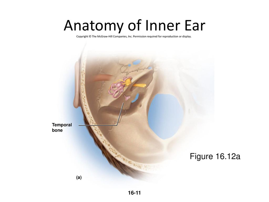 Ear Bone Anatomy Images - human body anatomy