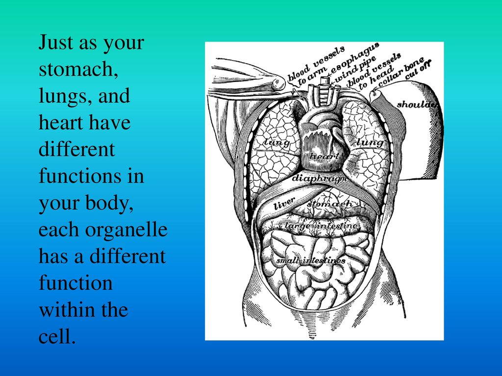 worksheet Looking Inside Cells Worksheet looking inside cells 7th grade science ppt download 3 just as your stomach lungs and heart have different functions in body each organelle has a function within the cell