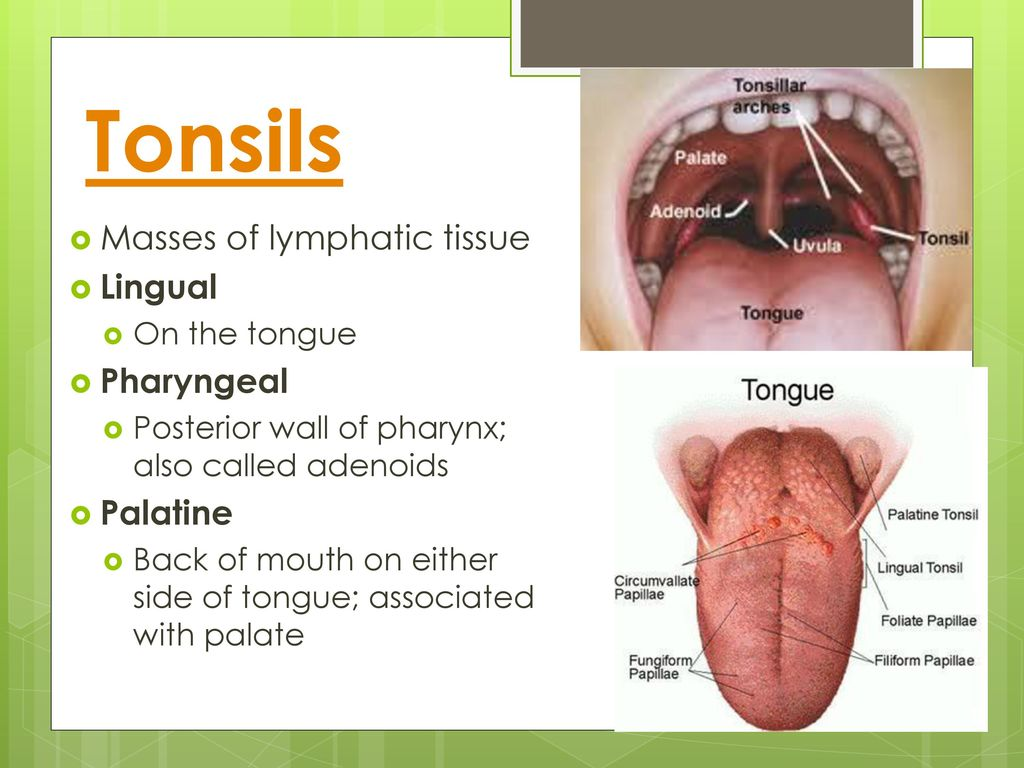 Groß Tonsil Anatomy And Physiology Galerie - Physiologie Von ...