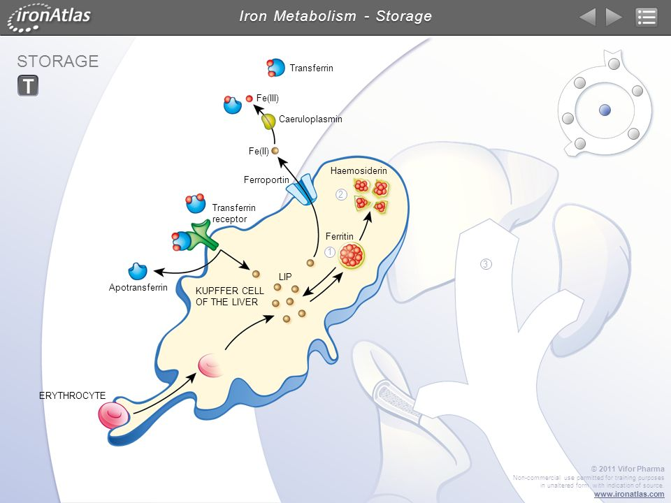 Iron Metabolism - Storage