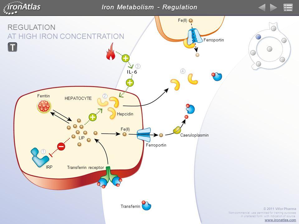 Iron Metabolism - Regulation
