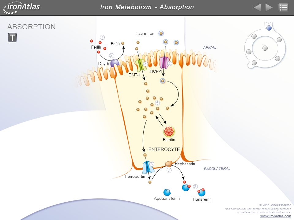 Iron Metabolism - Absorption