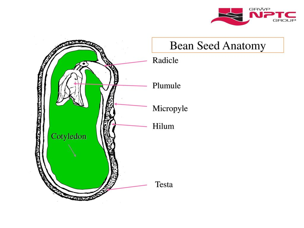 Contemporary Anatomy Of Seed Adornment - Physiology Of Human Body ...