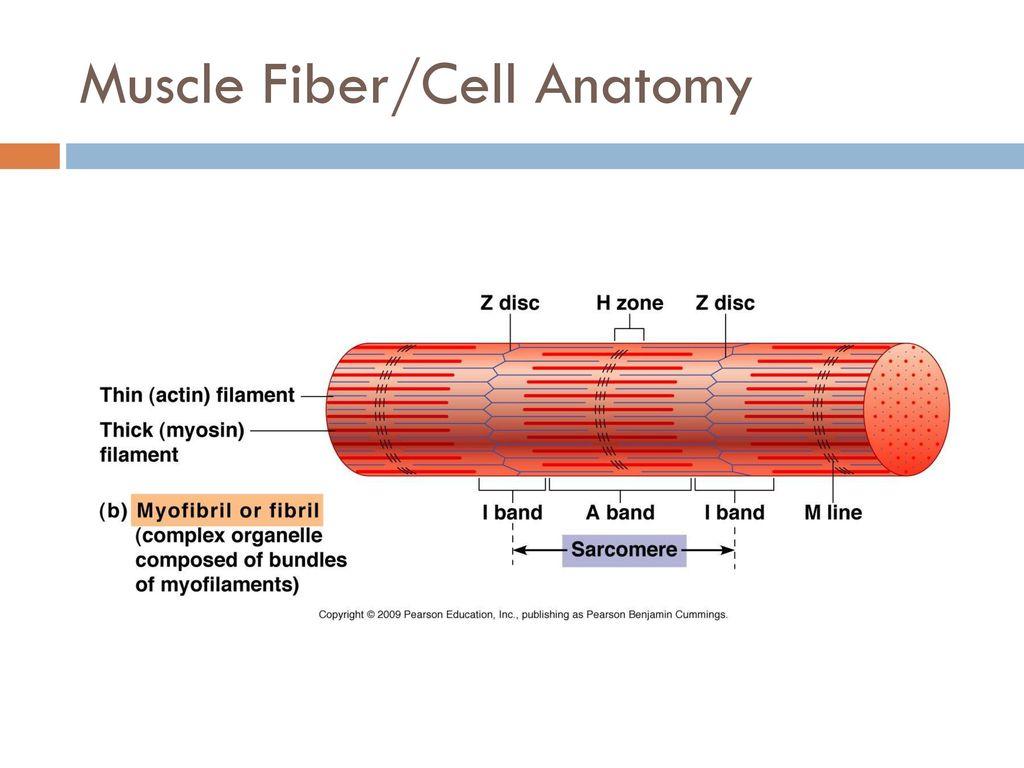 Groß Muscle Fibre Anatomy Galerie - Physiologie Von Menschlichen ...