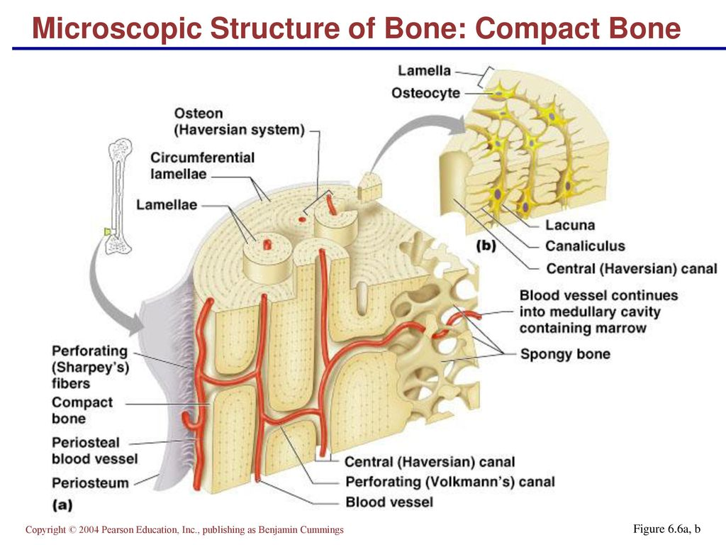 Unique Microscopic Anatomy Of Compact Bone Crest - Physiology Of ...